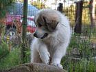 Фото в Собаки и щенки Продажа собак, щенков Щенки Пиренейской горной собаки в Латвии. в Москве 62000