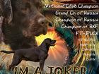 Уникальное фото  Лабрадор-ретривер,шоколадного окраса,племенной кобель, свободен для разведения, 39334503 в Москве