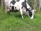 Увидеть изображение  Деревенское парное коровье молоко, 39396274 в Санкт-Петербурге