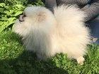 Смотреть фотографию Вязка собак Вязка шпицев 39543560 в Москве