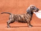 Скачать foto Услуги для животных Выбор щенка 39546403 в Москве