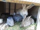 Скачать изображение  Продажа кроликов 39634644 в Брянске