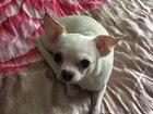 Уникальное изображение Вязка собак Вязка чихуахуа мальчик, бесплатно, 39639288 в Москве