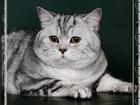 Уникальное изображение  Котики приглашают кошечек на вязки 39738178 в Москве
