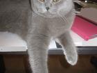 Скачать бесплатно foto Вязка кошек Нужна кошка прямоухая для вязки 40224051 в Москве