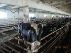 Смотреть изображение  Продажа бычков Черно-пестрой породы 40732152 в Набережных Челнах
