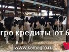 Увидеть изображение  Высокопродуктивные молочные нетели 43976421 в Набережных Челнах