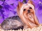 Новое фотографию Вязка собак Йоркширский терьер Мини, вязка , Питомник РКФ 44427952 в Москве