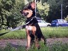 Свежее фотографию Вязка собак Черно-коричневый метис с немецкой овчаркой 44467397 в Москве