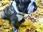 Новое foto Собаки и щенки Английский бульдог Добрыня приглашает на вязку, 44473851 в Москве