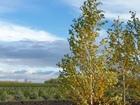 Новое фото  Береза Бородавчатая, повислая, Ель голубая, Хвойны растения, 44527234 в Москве