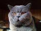 Увидеть фото Вязка кошек Вязка Шотландский шикарный кот 53201037 в Москве