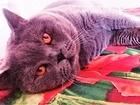 Новое foto Вязка кошек Вязка с Шотландским опытным котом (прямоухий) 53808404 в Москве