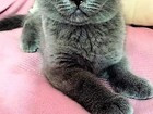 Просмотреть foto Вязка кошек Вязка Красивый Шотландский прямоухий кот ждет невесту:) 55872786 в Москве