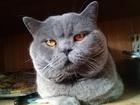 Смотреть фотографию Вязка кошек Вязка с Шотландским котом 56926347 в Москве