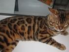 Скачать бесплатно foto Вязка кошек Золотой шикарный бенгал для вязок 67682899 в Москве