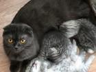 Уникальное фотографию Вязка кошек Вязка с шотландским вислоухим котом 67929248 в Москве