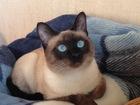 Новое фотографию Вязка кошек Чистокровный тайский кот, Вязка 67988955 в Москве