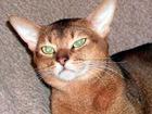 Новое изображение Вязка кошек Вязка с абиссинским котом 68082863 в Москве
