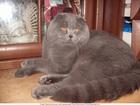 Увидеть изображение Вязка кошек Вязка с шотландским вислоухим котом 68195926 в Москве
