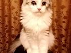 Увидеть foto Вязка кошек Вислоухий длинношерстный шотландец ищет невесту 68524857 в Москве