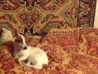 Новое фотографию Вязка собак Джек Рассел терьер ищет даму сердца 68665552 в Москве