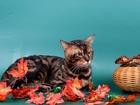 Просмотреть изображение Вязка кошек Вязка-Бенгальский кот с крупной розеткой 68755984 в Москве