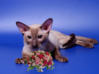 Скачать бесплатно фотографию Вязка кошек Вязка-Красавчик Корниш рекс кот 68755994 в Москве