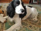 Скачать фотографию Вязка собак Русский охотничий спаниель для вязки 68815868 в Москве