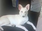 Скачать изображение Вязка собак Ханаанская Сука ищет кобеля для вязки 68906399 в Москве