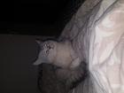 Уникальное foto Вязка кошек кот для вязки м, Октябрьское поле 68945258 в Москве
