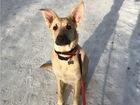 Смотреть фотографию  Собака-послушака в добрые руки 69159746 в Москве