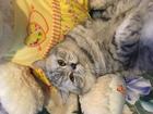 Уникальное фотографию Вязка кошек Вязка кошек любой породы готовы принять у себя 69207083 в Краснодаре
