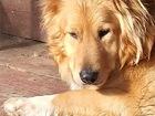 Увидеть фотографию  Шикарный пёс Дарий ищет дом, 74312272 в Москве