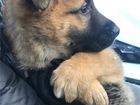 Новое фотографию  Чудесные щенки Бони и Клайд ищут дом 74644166 в Москве
