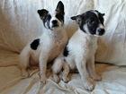Увидеть фото  Красавчики щенки (мальчики) в добрые руки, 74662362 в Москве