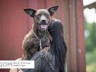 Уникальное фото Отдам даром - приму в дар Маленькая собака тигр Полкан в добрые руки 84323771 в Москве
