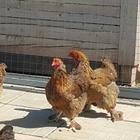 Куры, цыплята, петухи, утки, утята, фазаны, инкубационное яйцо