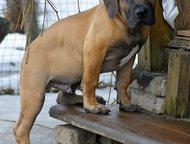 Щенки Южноафриканского бурбуля Предлагаются к продаже щенки Южноафриканского Бур