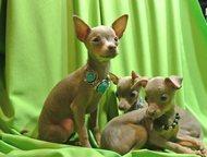 Ликвидация питомника Продам щенка, девочу лилового окраса. Дата рожденья 31 янва