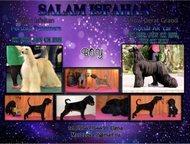 щенки афганской борзой Продаются щенки афганской борзой для выставки и дома 3 ко