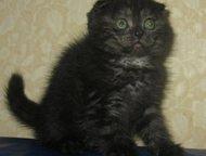 Видео, Шотландский вислоухий котик Видео. Шотландский вислоухий котик. Окрас чер