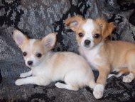 Пришла пора прощаться, мальчик и девочка чихуа-хуа Продаются щенки чишек, 2, 5 м