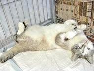 Голубоглазый котик Зая в дар, в добрые руки Котик-короткохвостик по имени Зая ищ