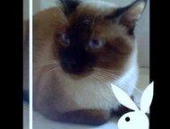 Тайский (сиамский старотипный) кот на вязку Тайский (сиамский старотипный) титул