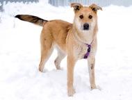Собака Сенди в добрые руки Рыжая умница и красавица. Характер у Сенди особенный.