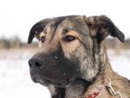 Крупная собака Кьяра в добрые руки Красавице Кьяре 10мес. Здорова, привита, стер
