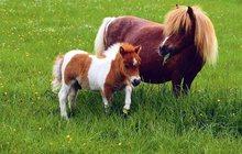 Купить Корову Зебу карликовую, Шотландский скот, Пони можно у нас