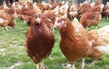 Продам молодок кур-несушек высокой яйценоскости