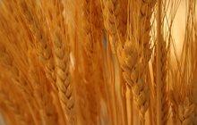 Куплю пшеницу 3кл -4кл
